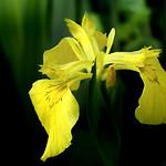 Wild Flag Iris. Image credit: Bernard Spragg. NZ, Flickr. Public Domain