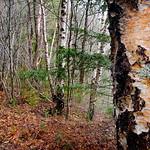 Birch. Image credit: Bernard Spragg, Flickr. Public Domain