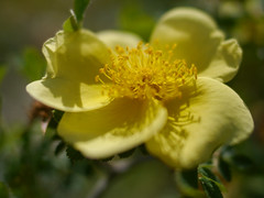 Canary Bird Rose. Image credit: T.Kiya, Flickr. CC license