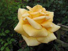 Rose 'Glenfiddich;. Image credit: Leonora (Ellie) Enking, Flickr. CC license