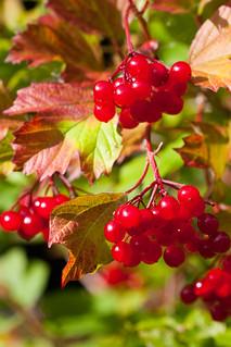 Autumn berries on Guelder rose. Image credit: Derek Parker, Flickr. CC license