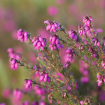 Bell heather. Image credit: Will_wildlife, Flickr. CC license