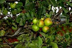'Worcester Pearmain' apple. Image credit: Twm, Flickr. CC license