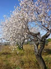 Almond tree. Image credit: calafellvalo, Flickr. CC license