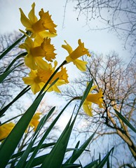 Daffodil. Image credit: Anders Ademark, Flickr. CC license
