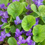 Sweet Violet. Image credit: Patrick Standish, Flickr. CC license