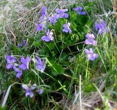 Dog violet. Image credit: Atle Grimsby, Flicker. CC license