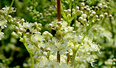 Meadowsweet. Image credit: chrsjc, Flickr. CC license