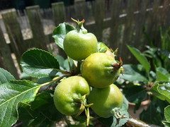 'James Greive' apple. Image credit: Thistle-Garden, Flickr. CC license