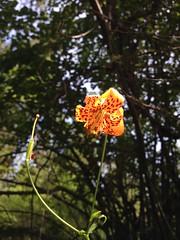 Leopard Lily. Image credit: Bureau of Land Management California's photostream, Flickr. Public domain