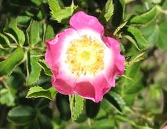 Rosa rubiginosa. Image credit: Steve Bittinger, Flicker. CC license