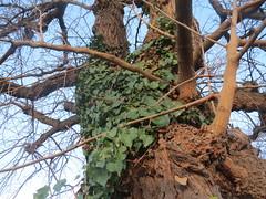 Climbing Ivy. Image credit: Andreas Rickstein, Flickr. CC license
