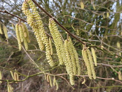 Hazel catkins. Image credit: swallowedtail, Flickr. Public domain