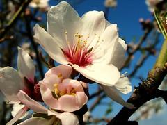 Almond blossom. Image credit: lightups, Flickr. CC license