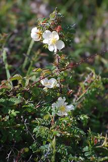 Scots or Burnet Rose. Image credit: Lawrence Wright, Flickr. CC license