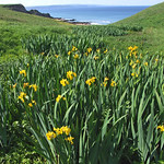 Wild Flag Iris. Image credit: Philip Goddard, Flickr. CC license