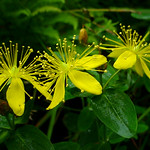 St John's Wort. Image credit: Great Smoky Mountains National Park photostream. Public domain