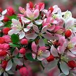 Crab Apple blossom. Image credit: David Paul Ohmer, Flickr. CC license