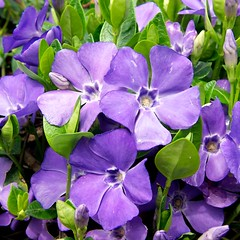Cluster of Lesser Periwinkles. Image credit: beautifulcataya, Flickr. CC license