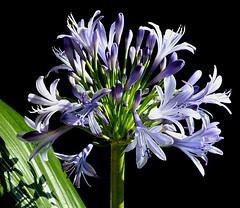African Blue Lily. Image credit: vernn.hyde, Flickr. CC license