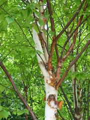 Ornamental Birch. Image credit: wlcutler, Flicker. CC license