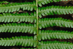 Male Fern. Image credit: Nicholas Turland, Flickr. CC license