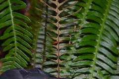 Hard Fern. Image credit: Woodlands@plantlife.org, Flickr. Public domain