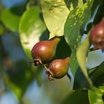 Pear fruit. Image credit: Hindrik Sijens, Flickr. CC license