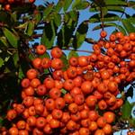Rowan berries. Image credit: Damian Entwistle, Flickr. CC license