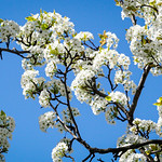 Pear tree blossom. Image credit: George Thomas, Flickr. CC license