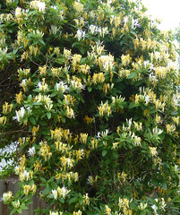 Honeysuckle. Image credit: Cindy Gustafson, Flickr. Public domain