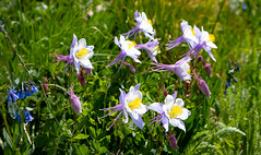 Columbine. Image credit: Log Home Finishing, Flickr. Public domain