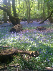 Bluebells in woodland, Image credit: Eljay Flickr. CC license