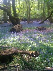 Bluebells in woodland, Image credit: Eljay Flickr. CC license