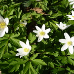 Wood Anemone. Image credit: Lil Shepherd, Flickr. CC license
