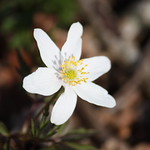 Wood Anemone. Image credit: PapaPiper, Flickr. CC license