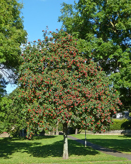 Rowan Tree. Image credit: Tim Green, Flickr. CC license
