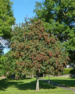 Rowan Tree. Image credit: Tim Green, Flickr. CC license