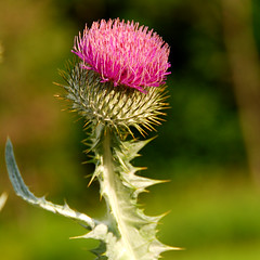 Thistle. Image credit: Paul Moody, Flickr. CC license