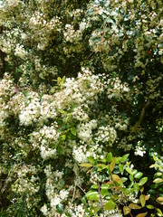 Common Myrtle. Image credit: wlcutler, Flickr. CC license