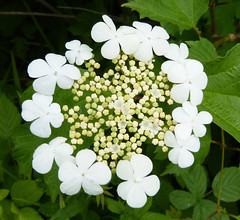 Guelder rose. Image credit: gailhampshire, Flickr. CC license