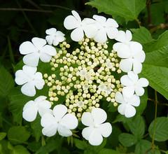 Guelder rose. Image credit: gailhampshire, Flickr. CC license