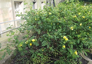 Canary Bird Rose. Image credit: NRS own. CC license