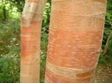 Ornamental birch