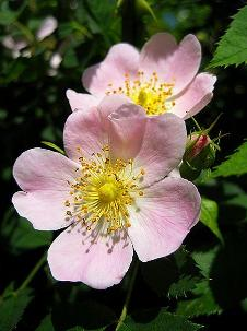 Dog Rose. Image credit: wagon16, Flickr. Public domain
