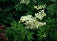 Meadowsweet, once a mead flavouring