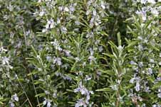 Up until Victorian times, Rosemary was carried at funerals